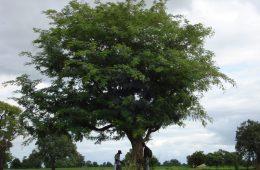 Leucaena Leucocephala Ağacı